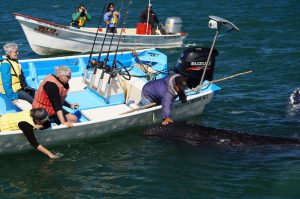 petting gray whales in Lopez Matteos