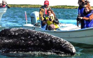 gray whales in magdalena bay