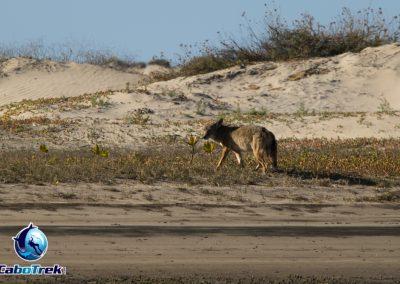 coyote magdalena bay