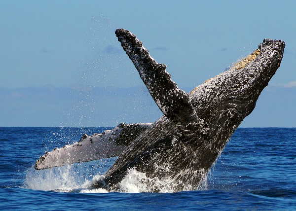 Why do Humpback Whales Breach?