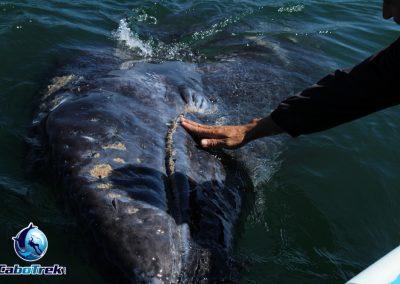 whale shark la paz