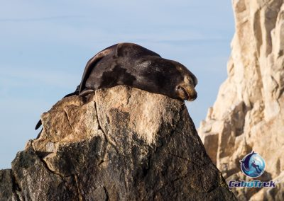 Sleepy California Sea Lion