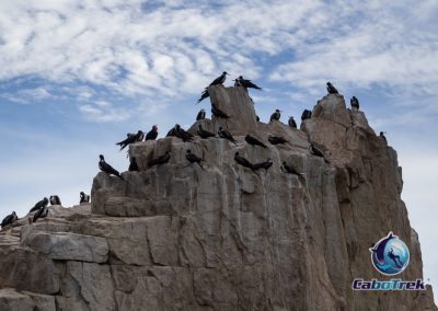 Frigatebirds Roosting