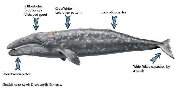 GrayWhale Diagram