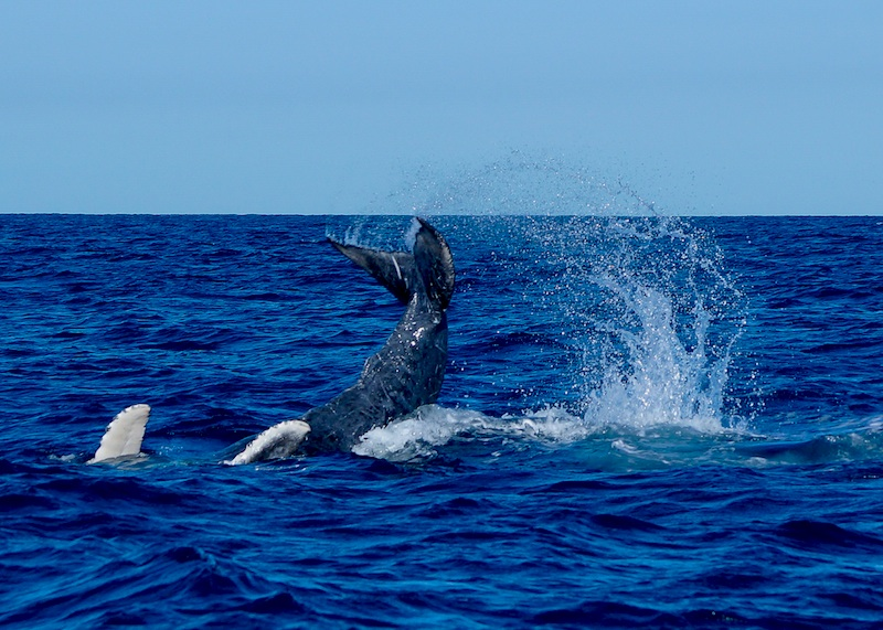whale watch cabo tail slap