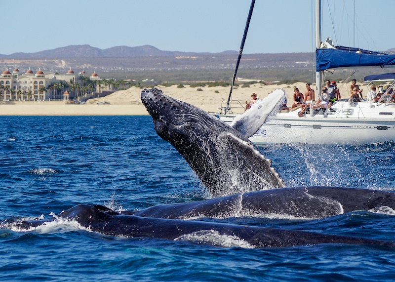 whale watching in los cabos calf breach