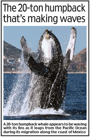Humpback Whale Breaching Daily Mail