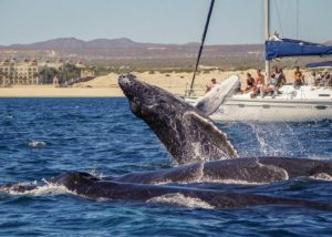 humpback whale in cabo san lucas