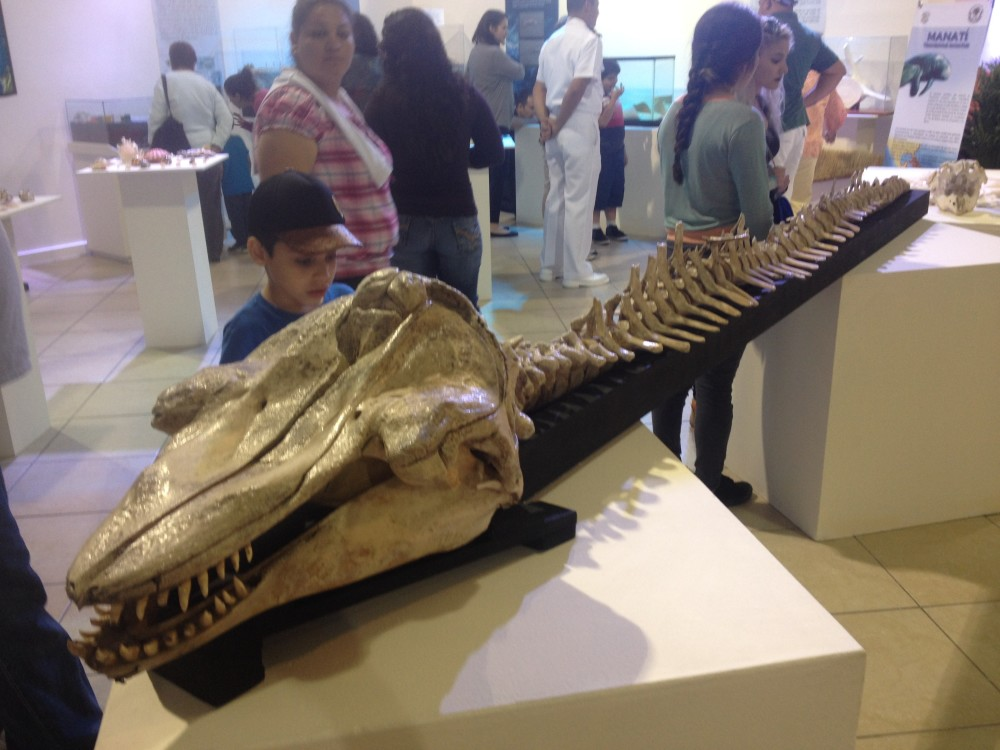 Pilot Whale Skeleton
