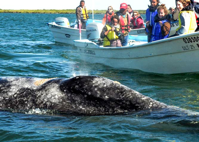 Gray Whale Watching in Cabo