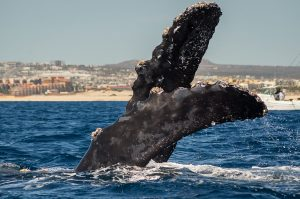humpback whale in cabo