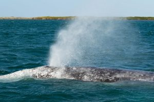 Gray whale blow in lopez mateos