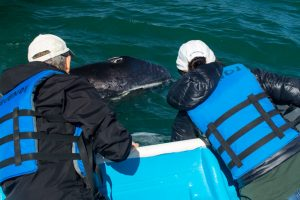 Pet a Gray Whale in Magdalena Bay