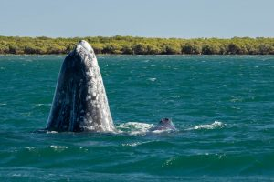 Gray Whales of Baja