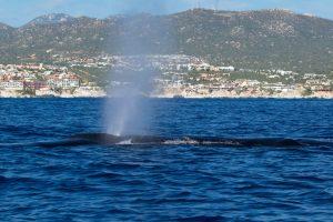 Brydes whale blow