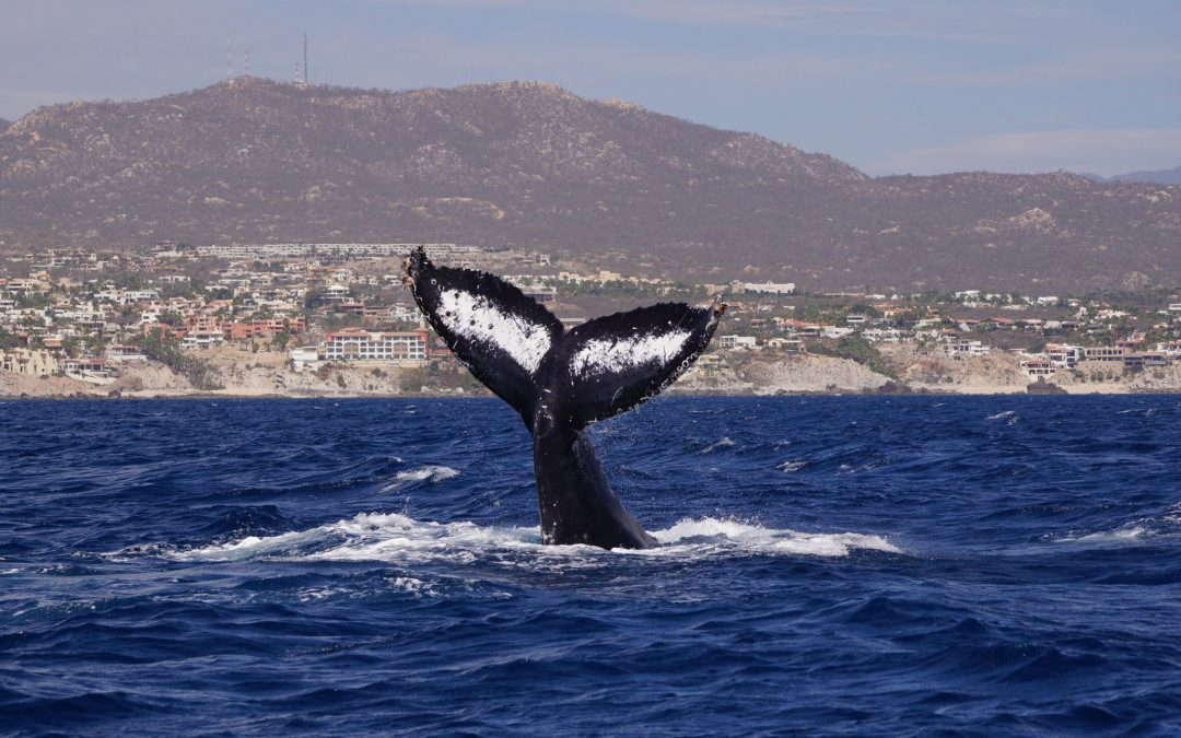 Cabo Whale Watching Research Project
