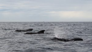 pod of short finned pilot whales on the surface