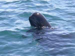 short finned pilot whale spy hop