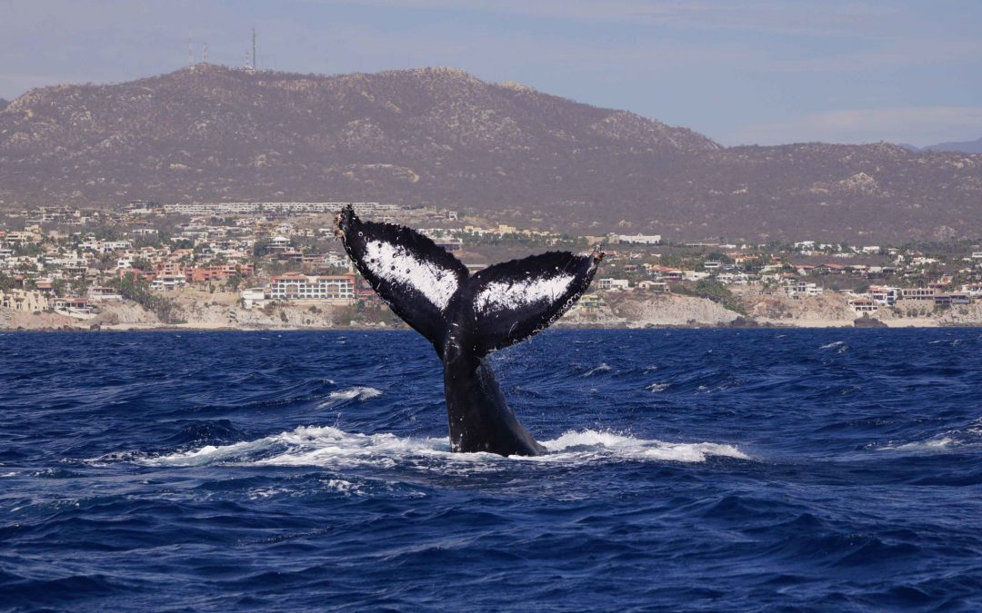 los cabos whale watching