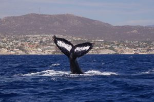 whale photo identification in cabo san lucas