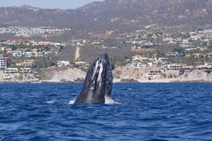 humpback whale watching season in cabo