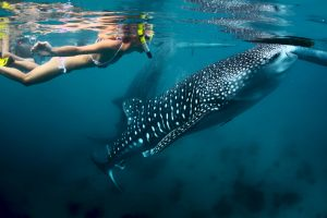 snorkeling with whale sharks in cabo