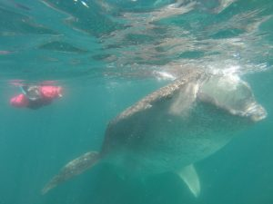 whale shark snorkeling in los cabos