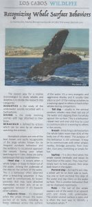 humpback whale behaviors whale watching tour in cabo