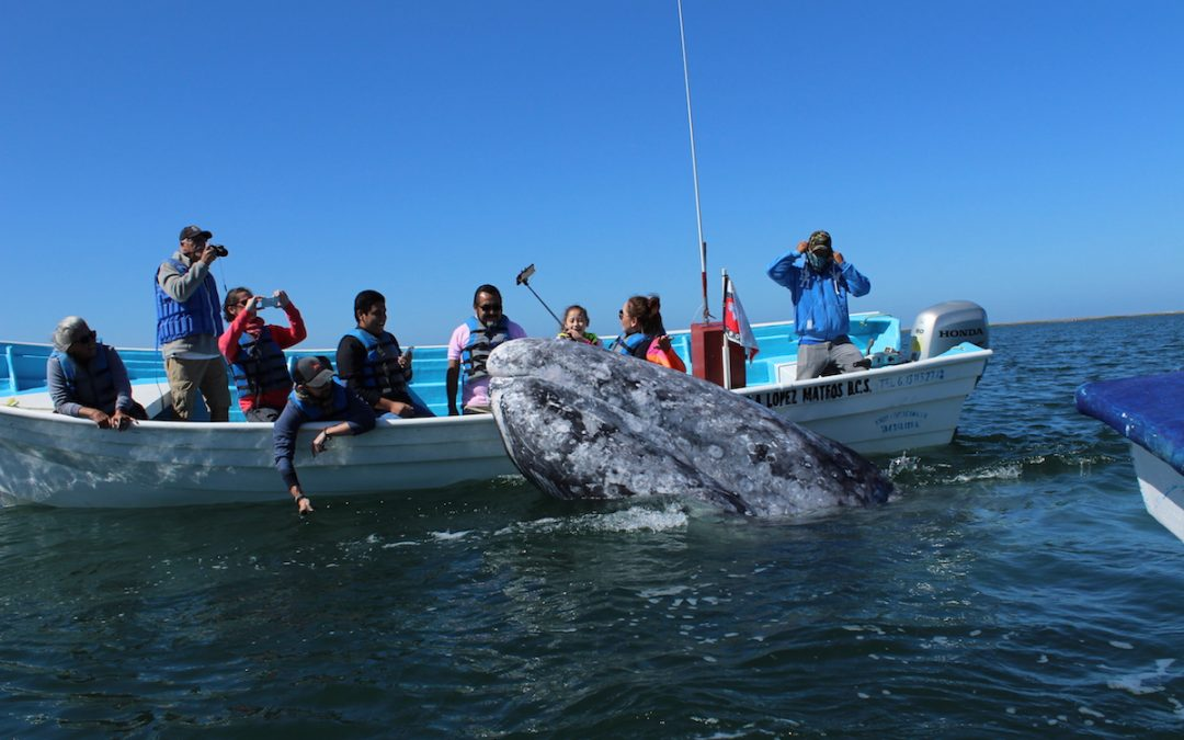 Survivor of the Ocean: The friendly Gray Whales