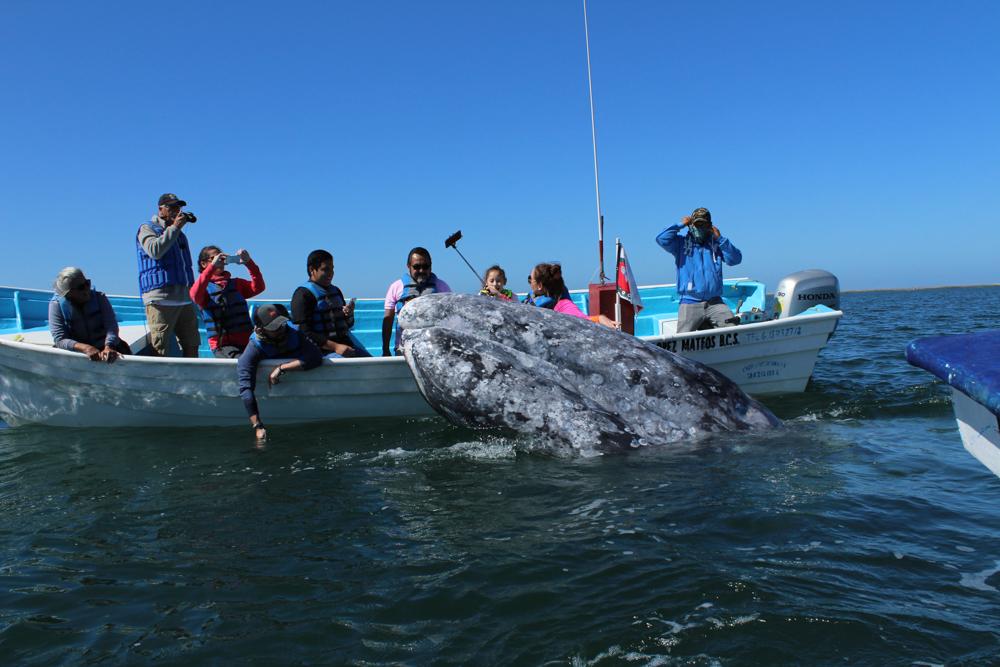 gray whales cabo san lucas