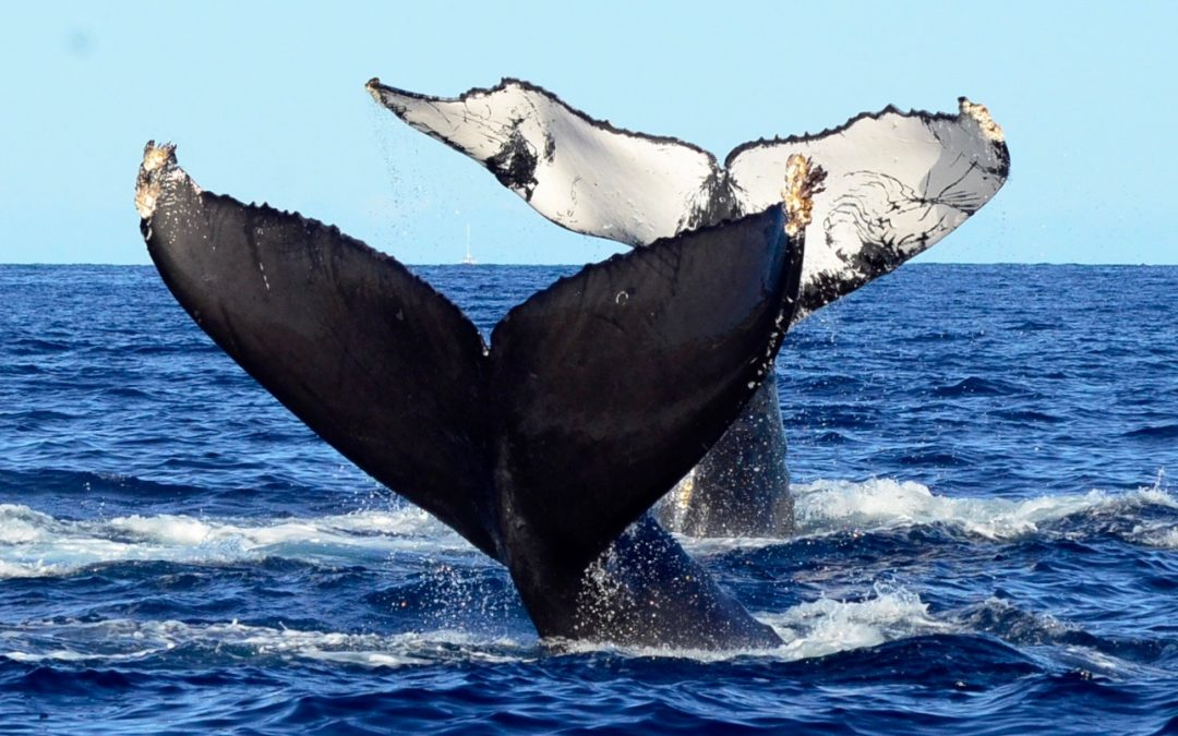 Humpbacks from Cabo to Canada