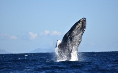 Whale Watching in Cabo Report