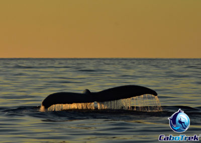 whale watching cabo