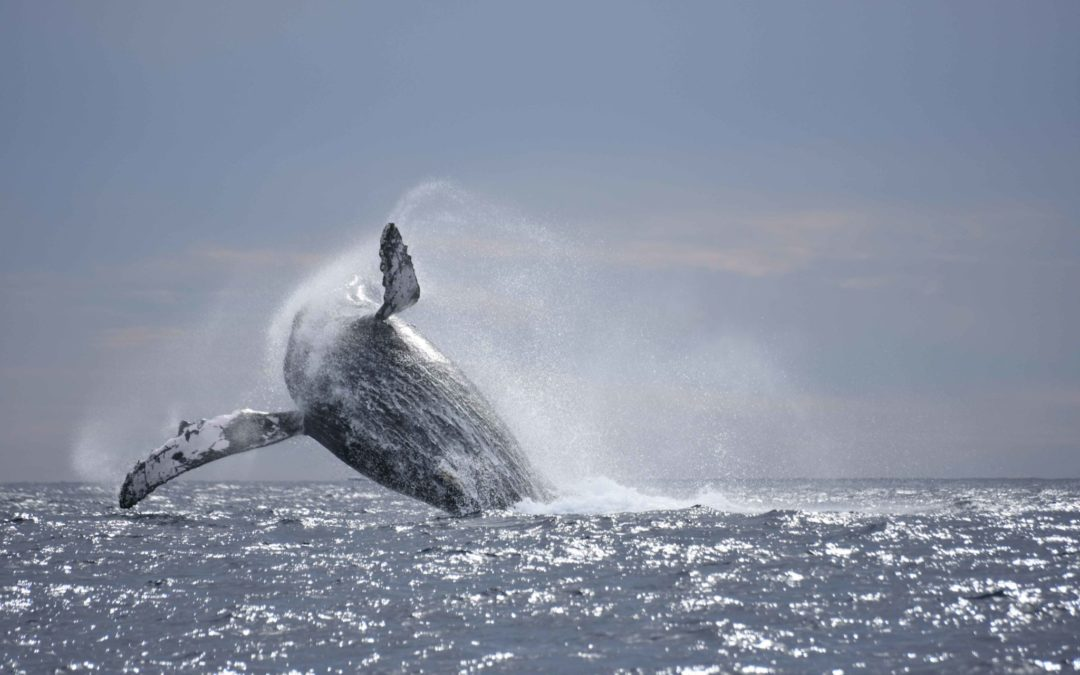 Whale Watching Cabo Season 2018
