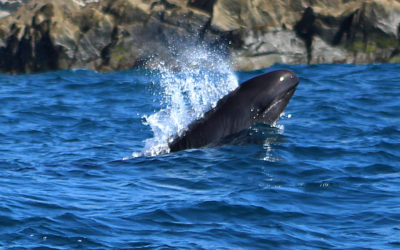 Rare sighting of False Killer Whales in Los Cabos