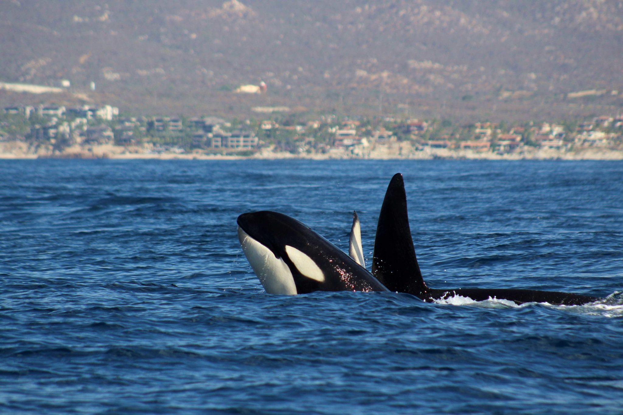 The social life of Orcas