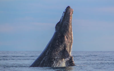 Humpback Whales are Back