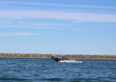 Gray Whales Cabo -1