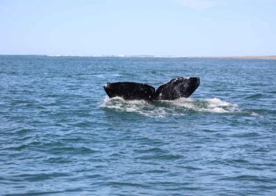 Gray Whales Cabo -2