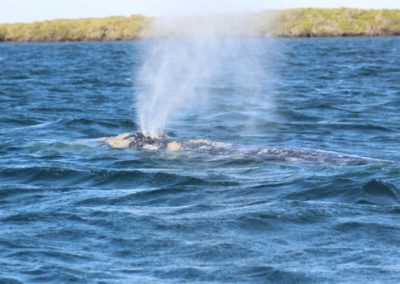 Gray Whales Cabo -3