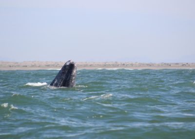 Gray Whales Cabo -4