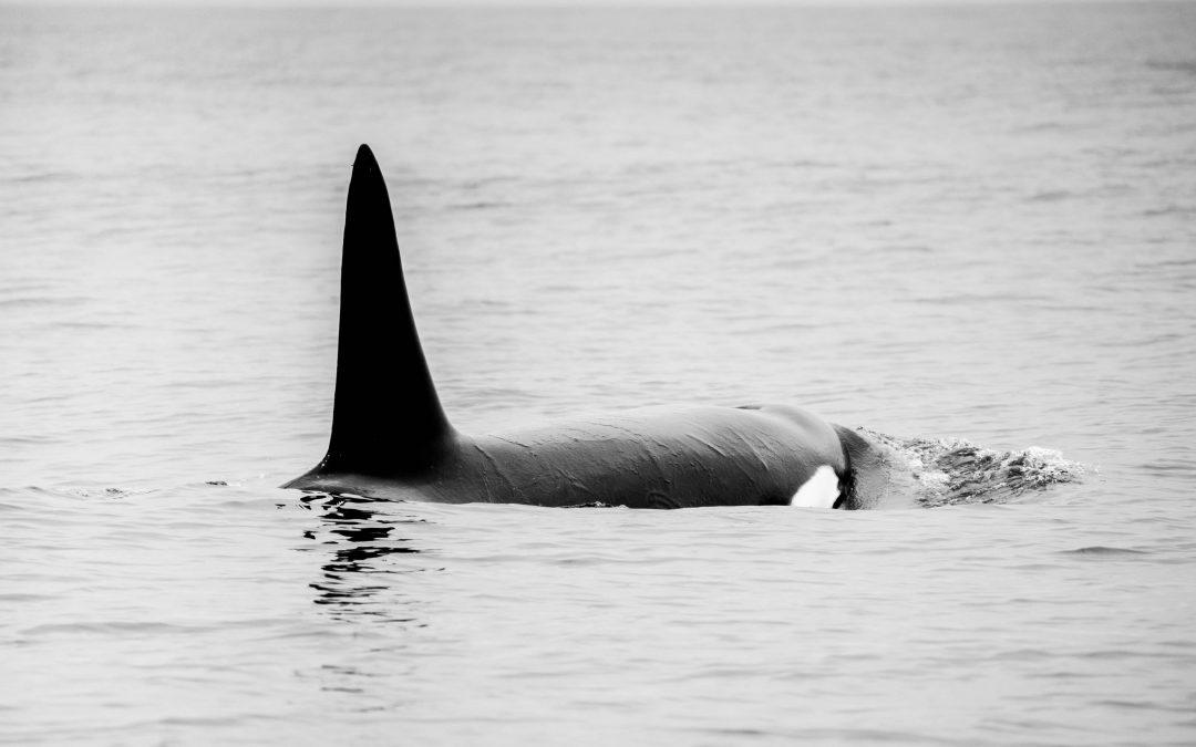 Orcas in Cabo San Lucas