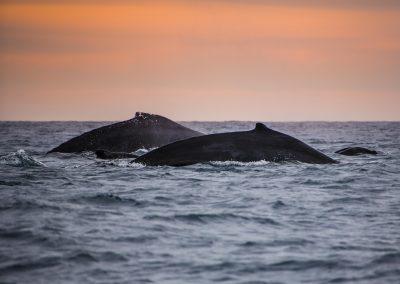 Sunset Whale Cruise_MQ_NL-1